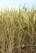 Ratusan Hektar Sawah di Maros Terancam Puso
