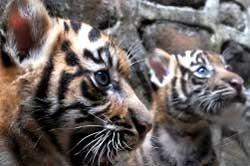 Misteri Keberadaan Harimau Jawa
