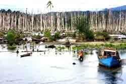 70 Persen Hutan Bakau Babel Rusak Akibat Penambangan Timah