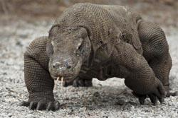 Kemenbudpar: Komodo Jadi Tema Wisata Nasional 2011