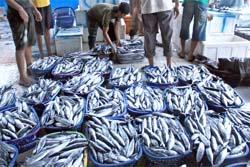 Indonesia Targetkan Jadi Penghasil Ikan Terbesar di Dunia